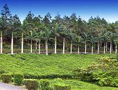 stock photo of mauritius  - Tea plantation - JPG