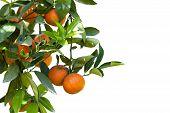 pic of tangerine-tree  - Close up orange tree on white background - JPG