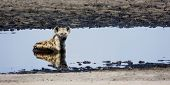 pic of hyenas  - Hyena Relaxing in Cool Shallow Pond on Liuwa Plains - JPG