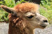 stock photo of alpaca  - Alpaca - JPG