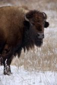 stock photo of tallgrass  - A bison grazes on grasses coated in frost and snow - JPG