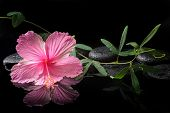 stock photo of tendril  - spa concept of blooming pink hibiscus and green tendril passionflower on zen stones with drops reflection in water closeup - JPG