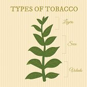picture of tobacco leaf  - types of tobacco depending on position of the leaves on the plant - JPG