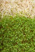 pic of alfalfa  - Fresh alfalfa sprouts and cress on white background - JPG