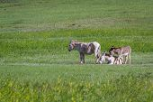foto of burro  - wild burros in the grass lands of Custer state park South Dakota - JPG