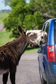 stock photo of burro  - wild burros on the road asking tourists for a treat in Custer state park South Dakota - JPG