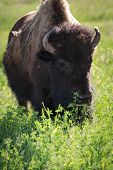 pic of female buffalo  - close up of a female american buffalo on green spring grass - JPG