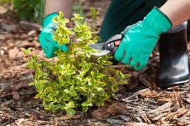 stock photo of prunes  - Close up of gardener - JPG