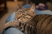 stock photo of snuggle  - A tabby cat sleeps snuggled in the lap of an adult wearing blue jeans - JPG