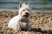 stock photo of white terrier  - West Highland White Terrier on the beach - JPG