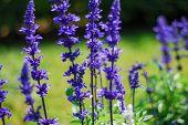 stock photo of blue-salvia  - Blue Salvia flower  - JPG