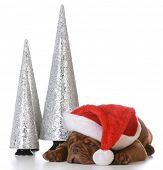 image of dogue de bordeaux  - christmas puppy  - JPG
