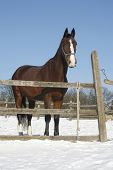 stock photo of thoroughbred  - Thoroughbred saddle horse looking overthe corral fence. No people.