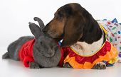 foto of basset hound  - cute bunny and basset hound on white background - JPG