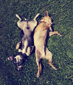 pic of chihuahua  - two chihuahua rolling in the grass toned with a retro vintage instagram filter - JPG