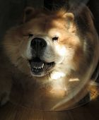 picture of vets surgery  - Chow Chow Dog Wearing Head Cone  - JPG