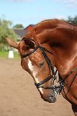 stock photo of bridle  - Chestnut sport horse portrait in summer with bridle - JPG
