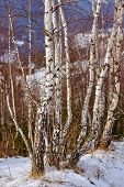 pic of birching  - Birch trees on mountains in the winter - JPG