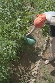 stock photo of bend over  - Young caucasian woman wearing an orange head scarf bends over to water tomato plants with a watering can in a vegetable garden in summer - JPG