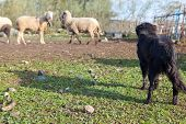 picture of sheep-dog  - Sheep dog and some mature sheeps standing at fenced corral Extremadura Spain - JPG