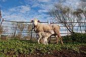 image of baby sheep  - Baby lamb and her maternal sheep mother Extremadura Spain  - JPG
