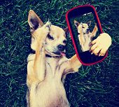 picture of chihuahua  -  a cute chihuahua in the grass taking a selfie on a cell phone cell phone toned with a retro vintage instagram filter effect - JPG