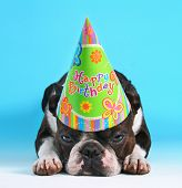 picture of pouting  -  a cute boston terrier with a birthday hat on pouting on a blue background  - JPG