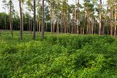 picture of conifers  - Close up of conifers in a forest - JPG