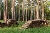 foto of conifers  - Firewood from conifers on piles in forest - JPG