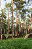 image of conifers  - Firewood from conifers on piles in forest - JPG