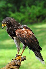 stock photo of falcons  - A Falconer Holding a Beautiful Falcon Outdoors - JPG