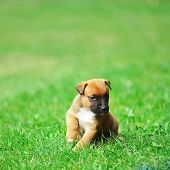 stock photo of belgian shepherd  - young puppy belgian shepherd malinois in field - JPG
