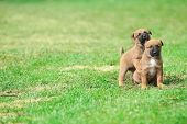 stock photo of belgian shepherd  - young puppies belgian shepherd malinois in field - JPG