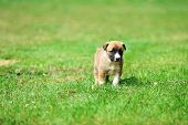 pic of belgian shepherd  - young puppy belgian shepherd malinois in field - JPG