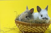 picture of midget  - two small rabbits isolated on yellow background - JPG