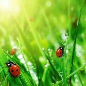 stock photo of water bug  - fresh green grass with water drops and ladybugs close up - JPG