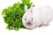 stock photo of white rabbit  - White rabbit eating green salad isolated on white background - JPG