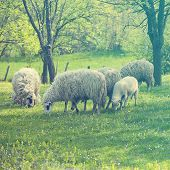 foto of spring lambs  - Sheep and lamb on green field in spring - JPG