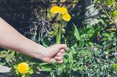 picture of pulling  - A female hand is pulling up dandelions in a garden. ** Note: Shallow depth of field - JPG