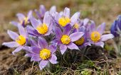 picture of violet flower  - view of beautiful flowering flower of pasqueflower - JPG