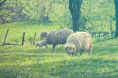 picture of spring lambs  - Sheep and lamb on green field in spring - JPG