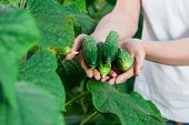 stock photo of cucumbers  - Happy Young woman holding and holding cucumbers in a hothouse cultivated with green fresh cucumber plants - JPG