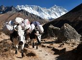 foto of yaks  - White Yak  - JPG