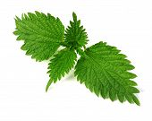 foto of common  - common nettle  - JPG