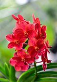 foto of orquidea  - The red Orchids in the garden for a background