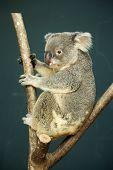 picture of koalas  - Portrait of male Koala bear sitting on the tree - JPG