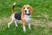 image of spotted dog  - dog Beagle breed standing on green grass - JPG