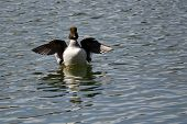 pic of common  - Female Common Goldeneye Stretching Its Wings on the Water - JPG