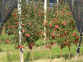 picture of orchard  - Apple orchard with red ripe apples on the trees - JPG