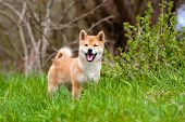 stock photo of fluffy puppy  - red three months old shiba inu puppy - JPG